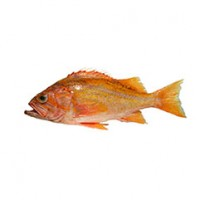 canary_rockfish_1_crop