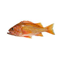 canary_rockfish_1_crop